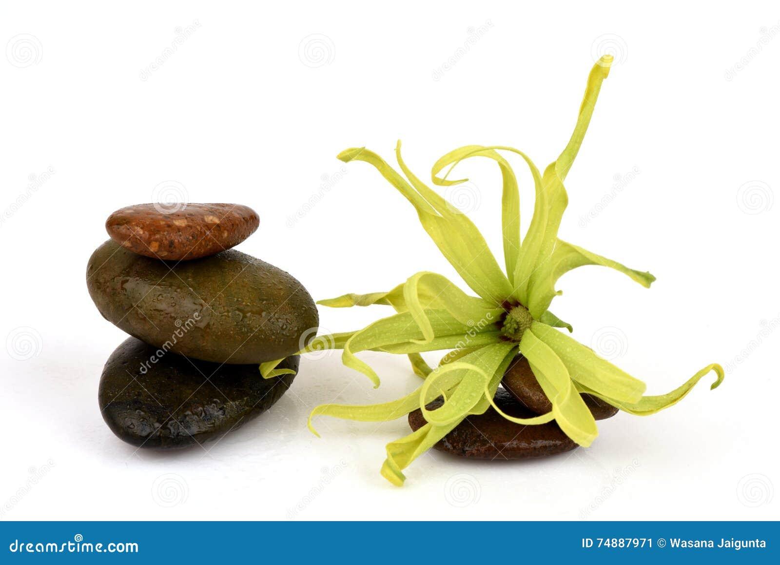 Ylang-Ylang do anão, Ilang - Ilang, fruticosa do Cananga