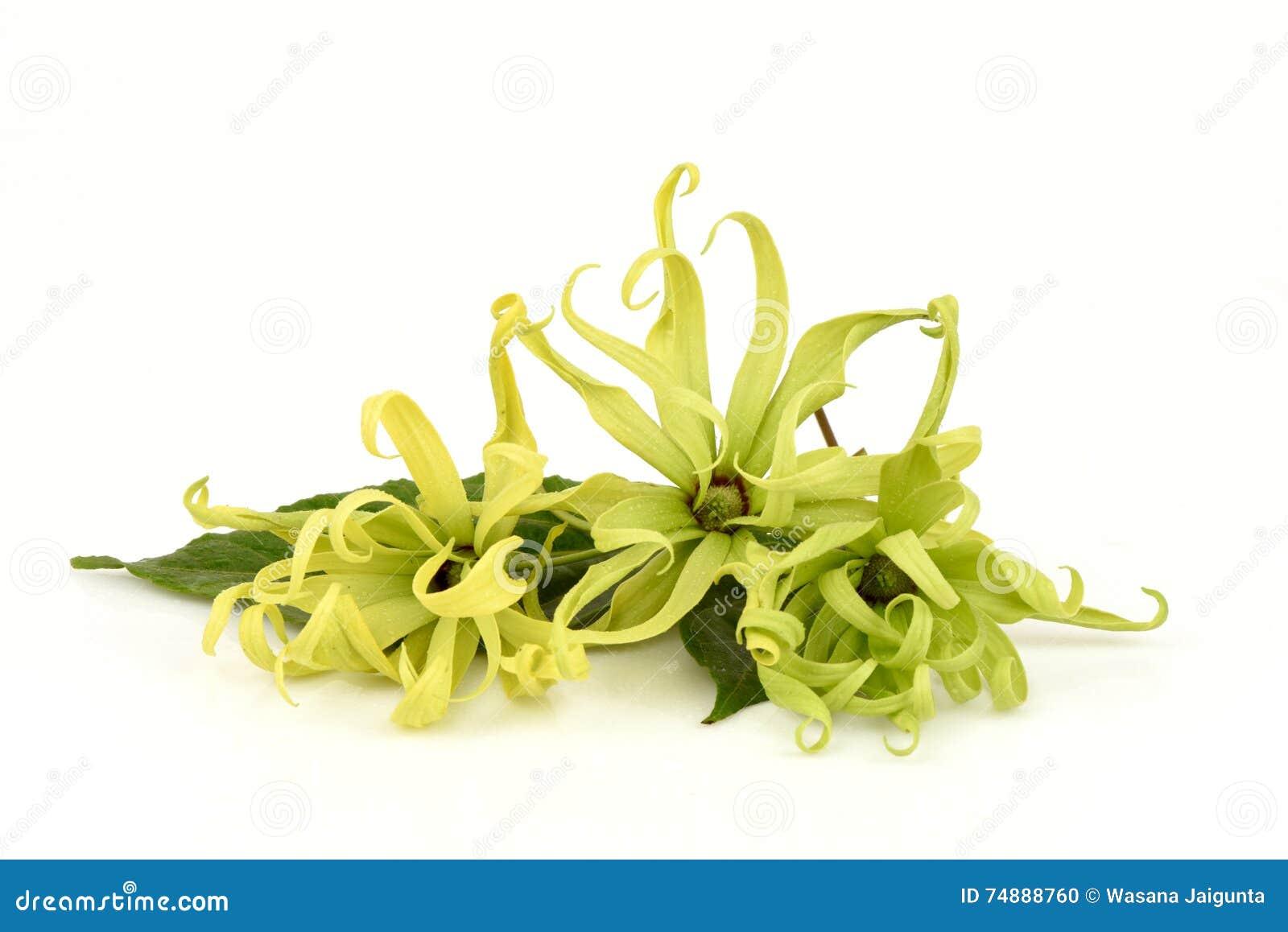 Ylang-ylang nain, Ilang - Ilang, fruticosa de Cananga