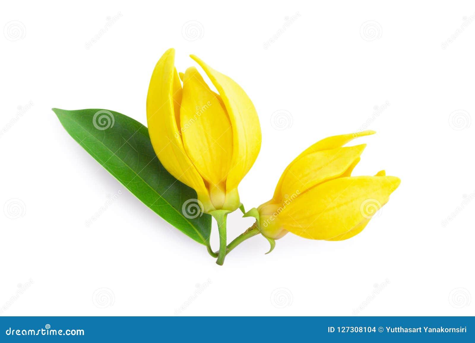Ylang-Ylangblomma för bästa sikt, gul doftande blomma på vitbaksida