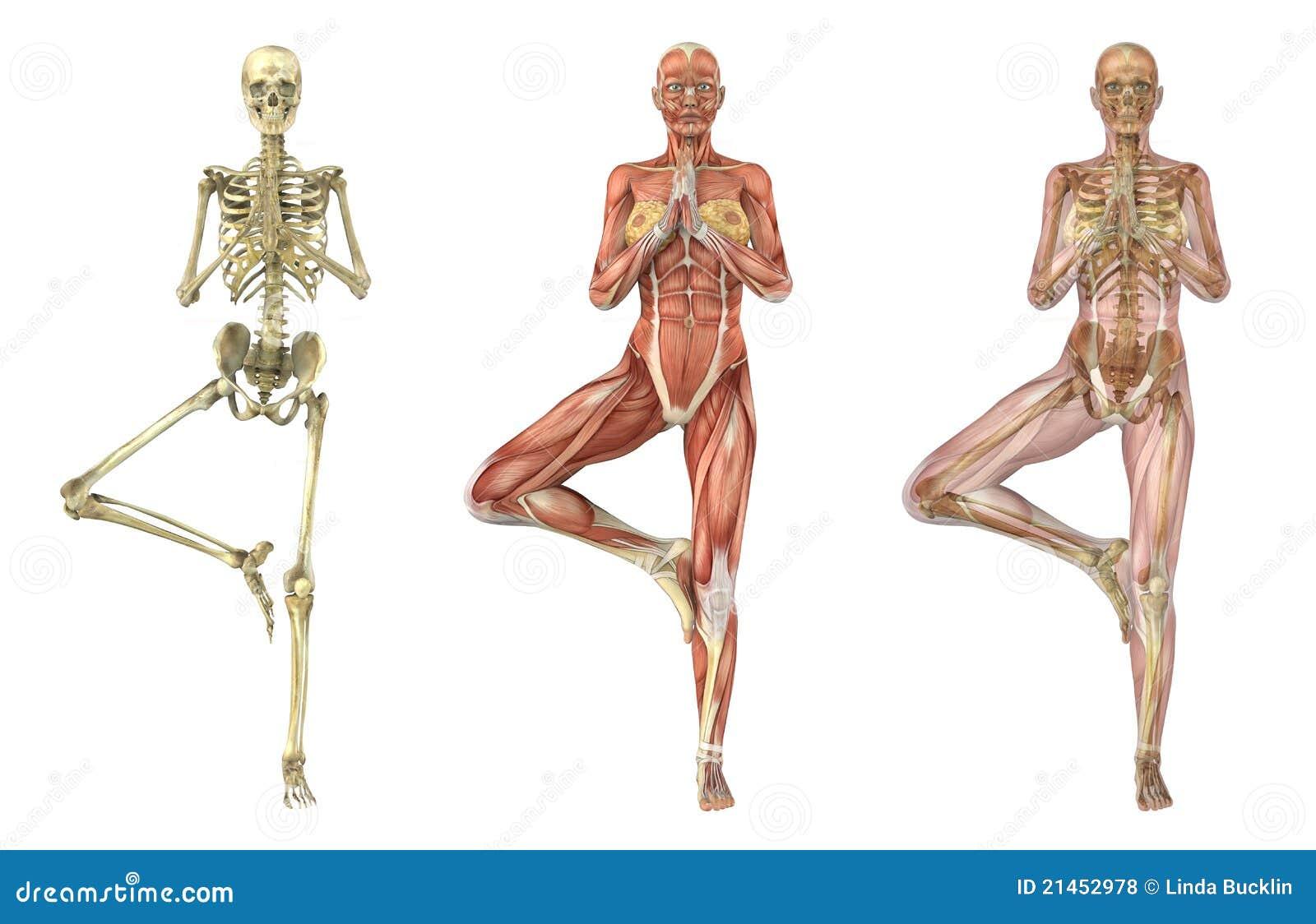 Yoga Tree Pose - Anatomical Overlays Royalty Free Stock ...