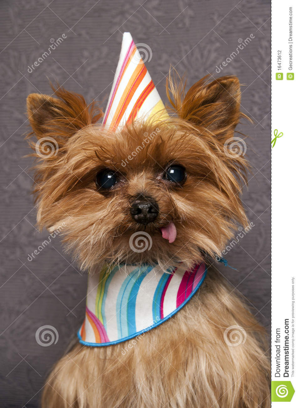 Yorkie With Birthday Hat Stock Photo Image Of Canine