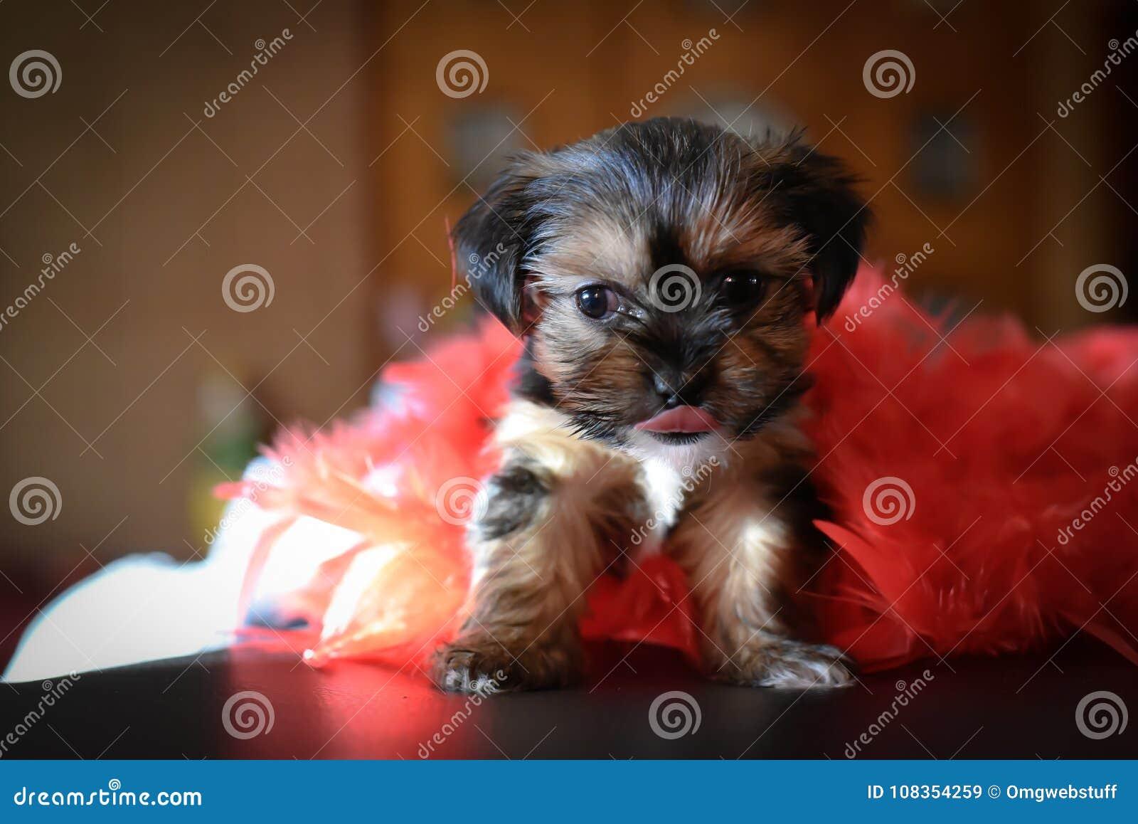 Yorkie bonito Shih Tzu Puppy com boa vermelha