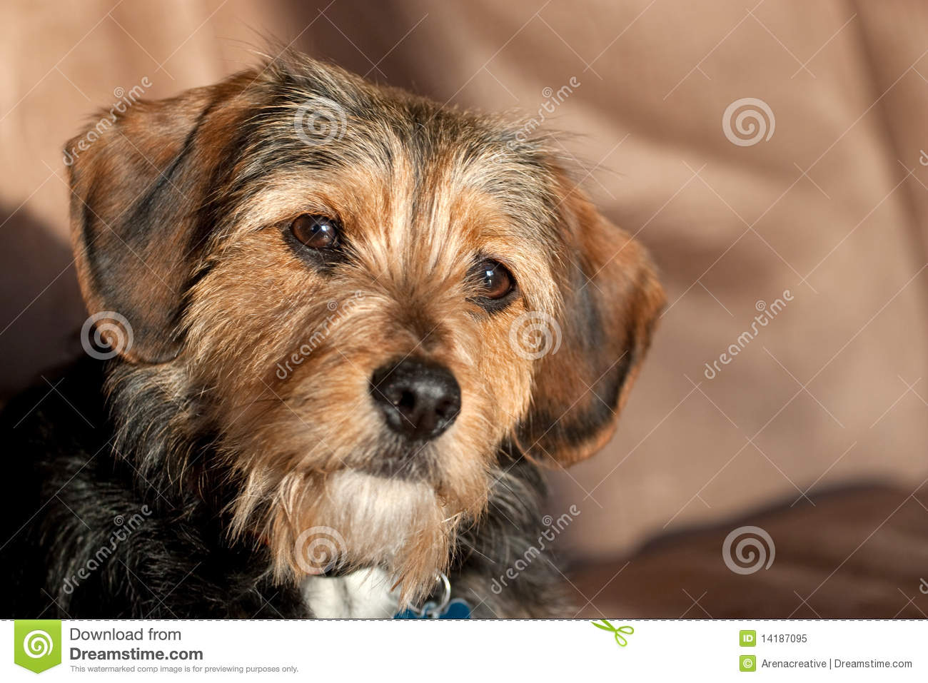 Yorkie Mix Dog Stock Image Image Of Mutt Looking Collar 14187095