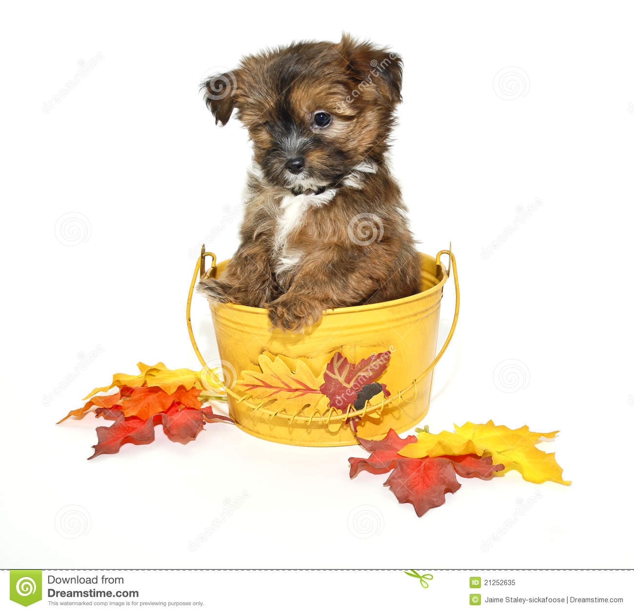 Yorkie Poo Puppy Stock Image Image Of Calendar Breed 21252635