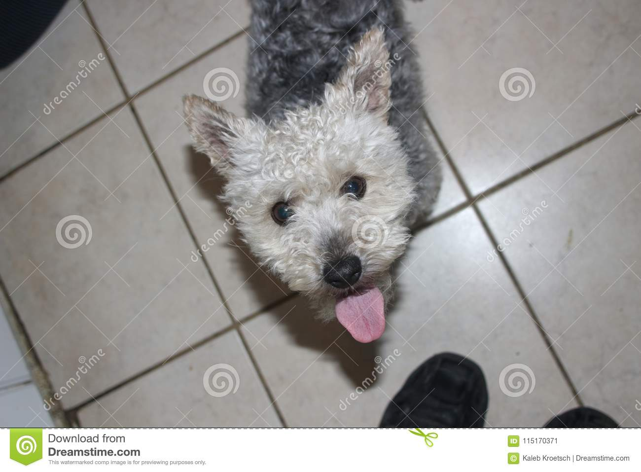 Yorkie And Poodle Mix A Mutt Dog Very Cute Stock Image Image Of