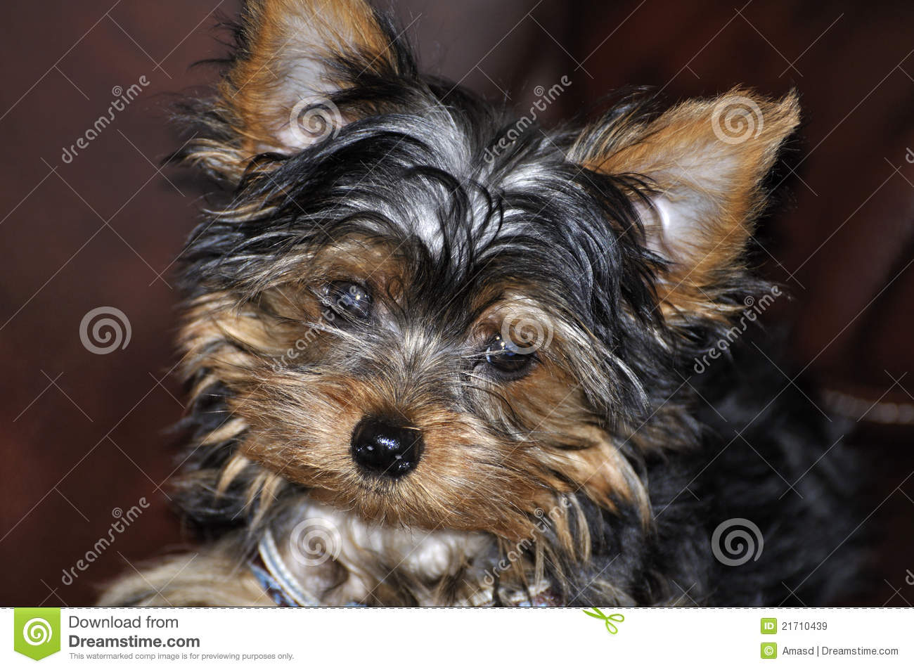 Silver Yorkie Puppies Yorkie puppy smiling while