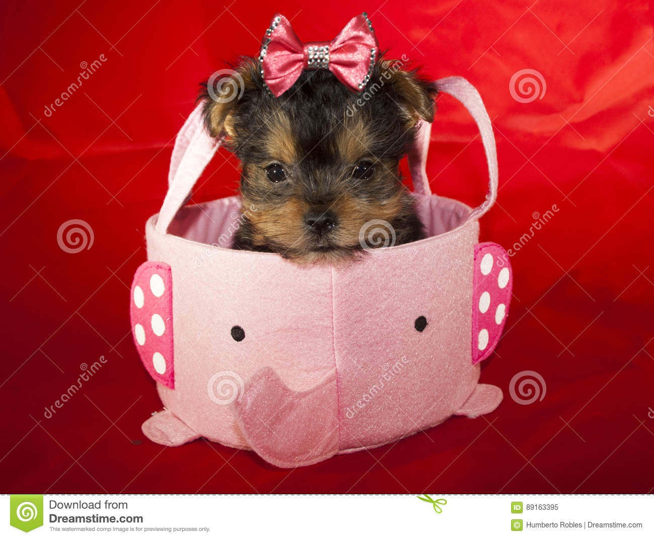 Yorkie Puppy Stock Image Image Of Gromming Teacup Puppy 89163395