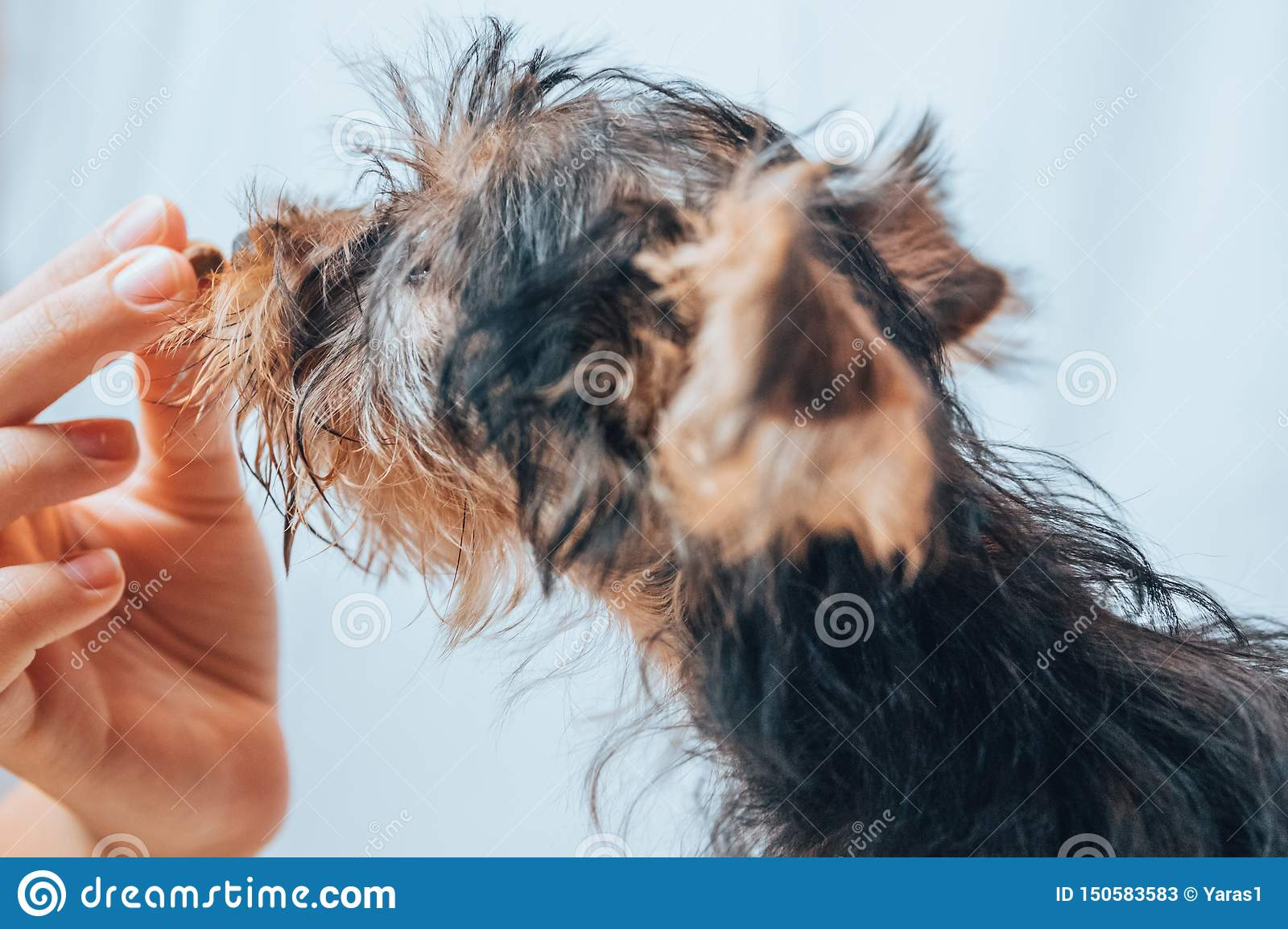 Yorkie Puppy Feeding And Training Stock Image Image Of Feeding Background 150583583