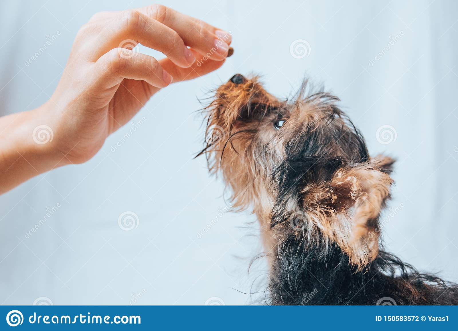 Yorkie Puppy Feeding And Training Stock Photo Image Of Handle Gained 150583572
