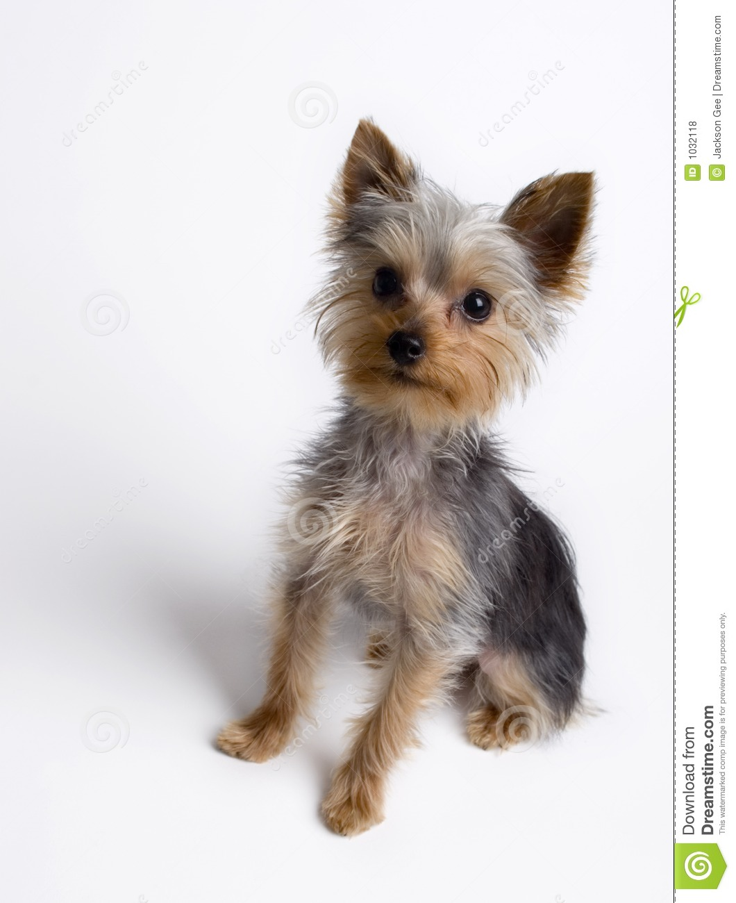 Yorkie Puppy Sitting Stock Photo Image Of Buddy Animal