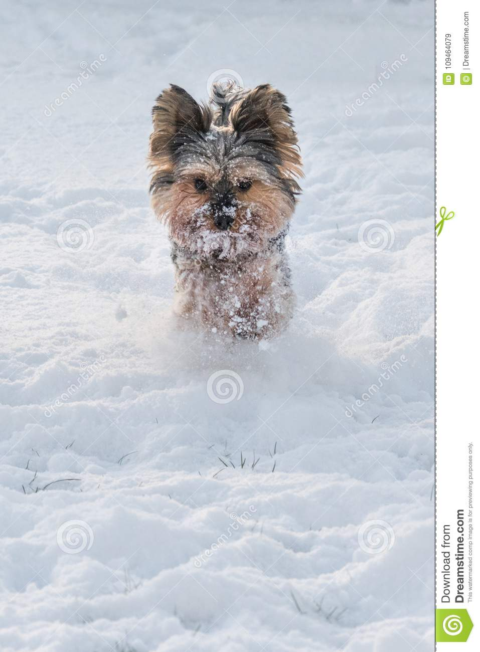 Yorkshire Terrier Running In The Snow Stock Image Image Of Yorkie