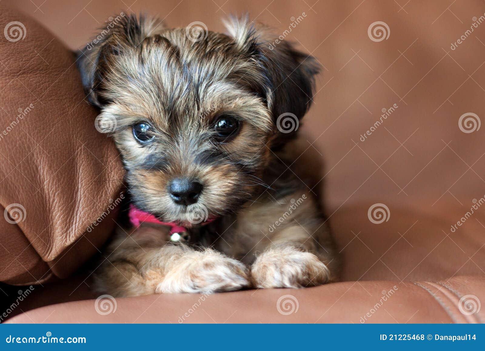 A Yorkie Shih Tzu Mixed Puppy Stock Photo Image Of Pedigree Head