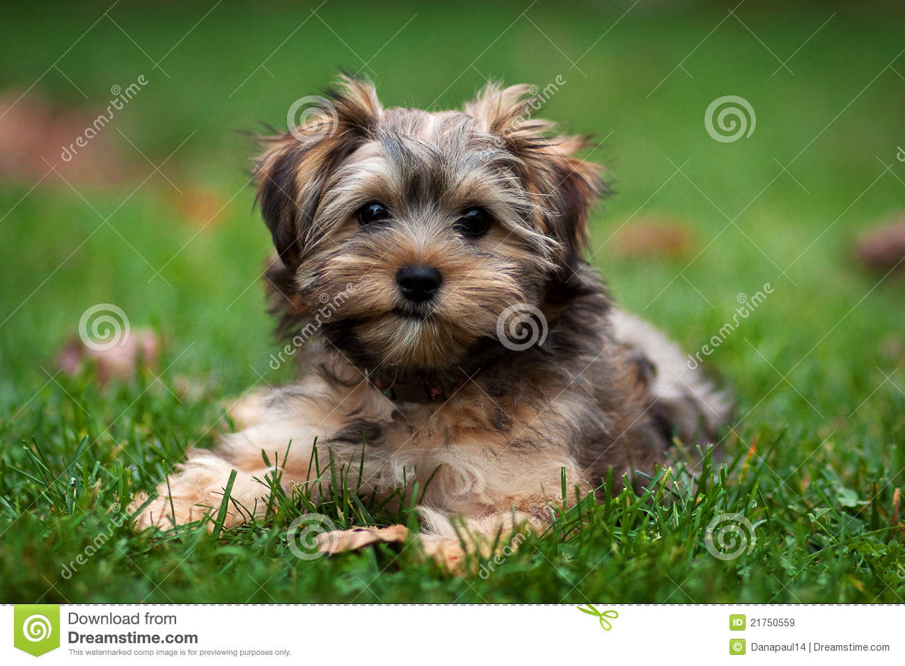 Yorkie And Shih Tzu Mixed Puppy Stock Image Image Of Friendship