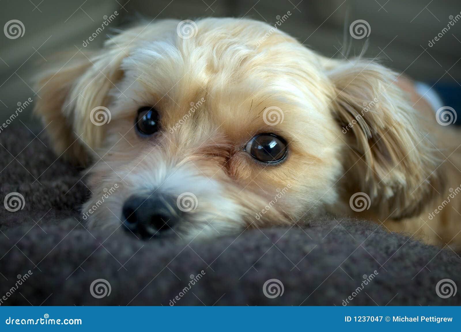 Yorkie And Shih Tzu Puppy Stock Image Image Of Shih Shitsu 1237047