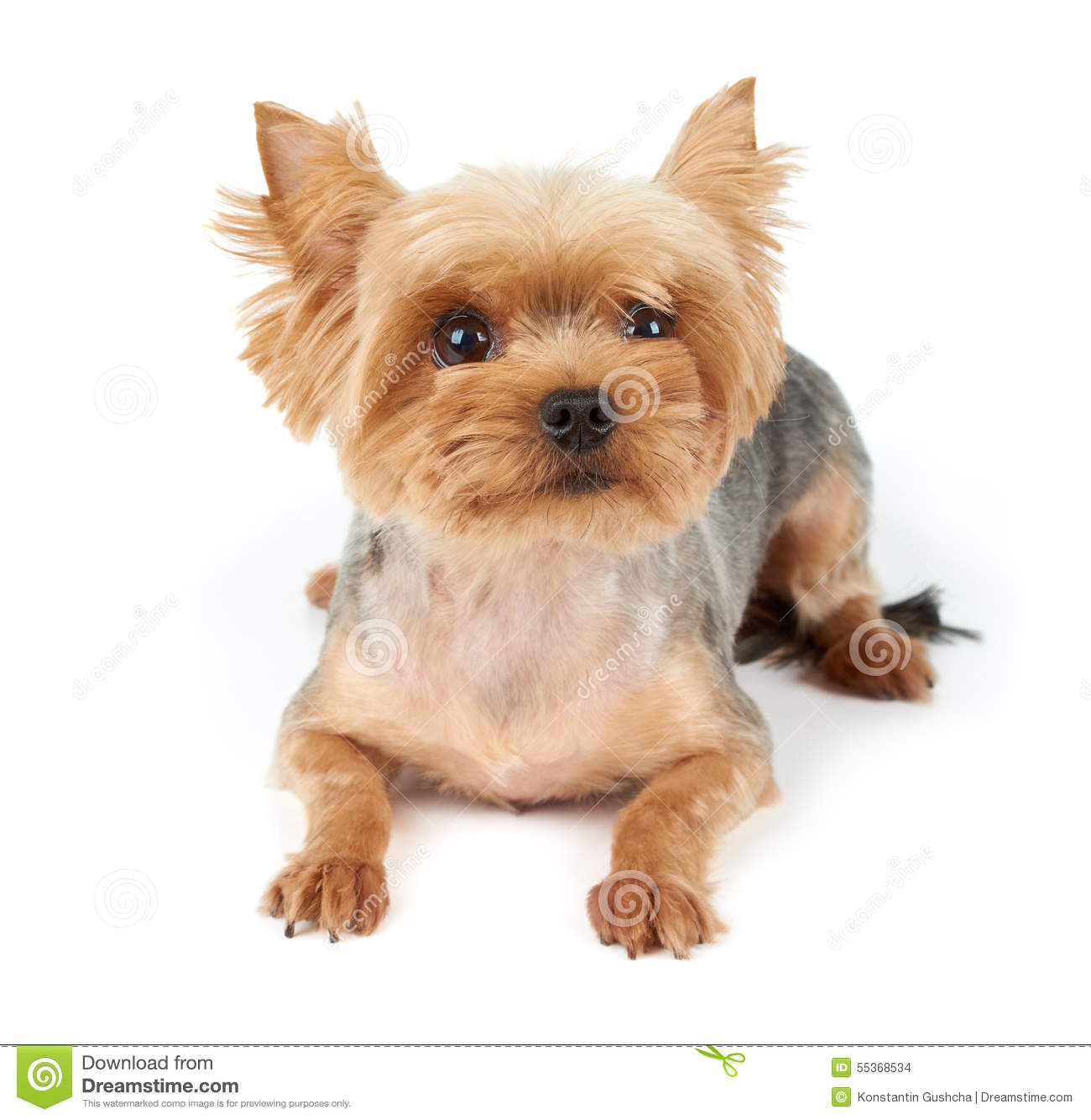 Yorkie With Short Haircut Stock Image