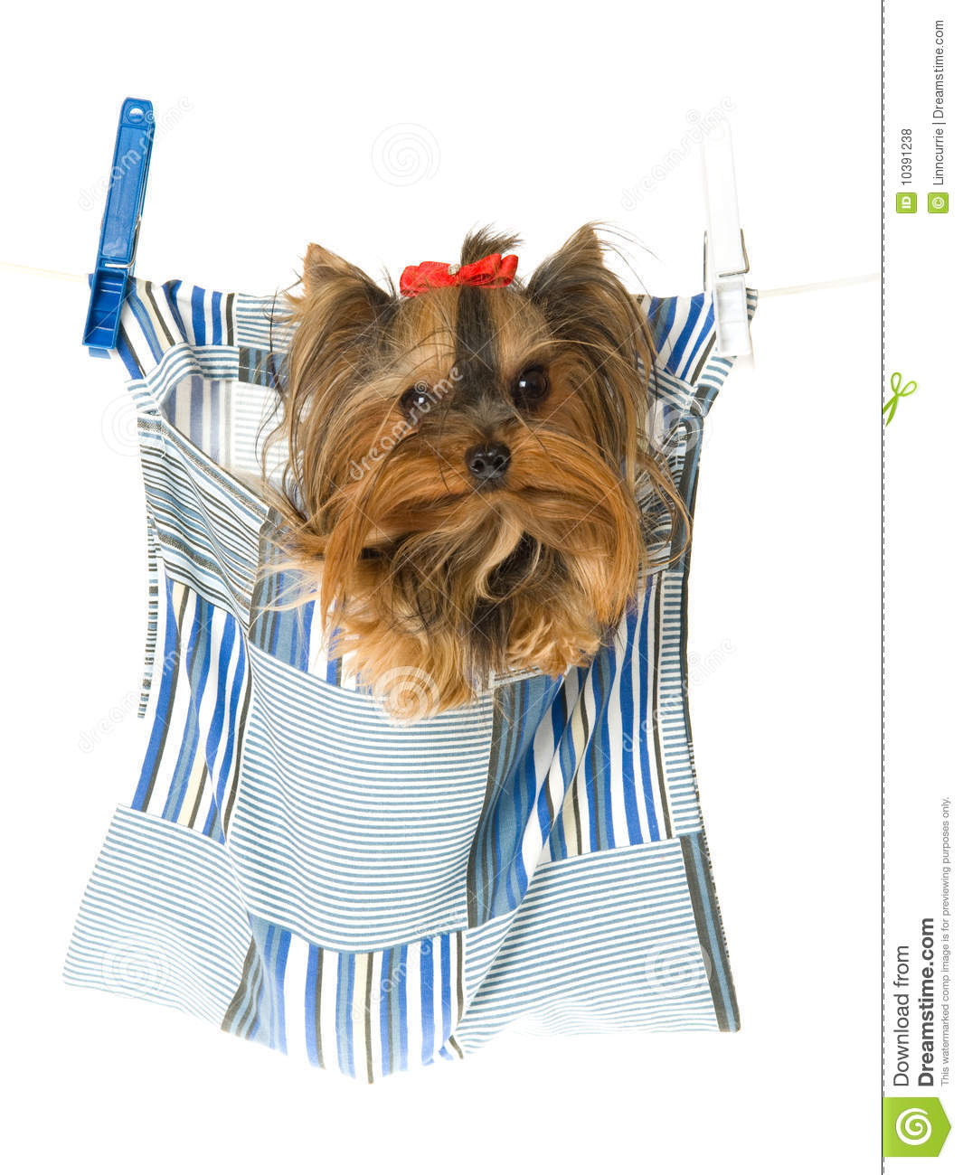 Yorkie Sitting In Clothes Pin Bag Royalty Free Stock