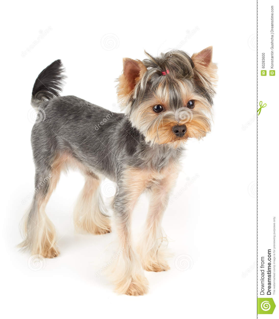 Yorkie Stands On White Stock Photo Image Of Hair Charming 60283600