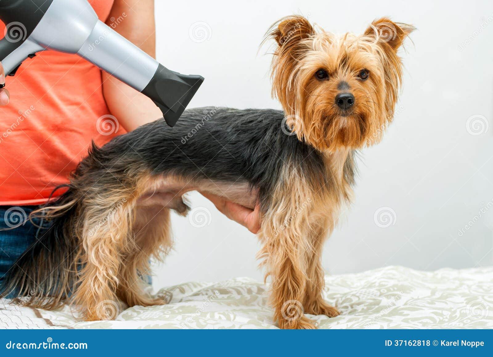 Yorkshire dans le salon de chien. Photos libres de droits