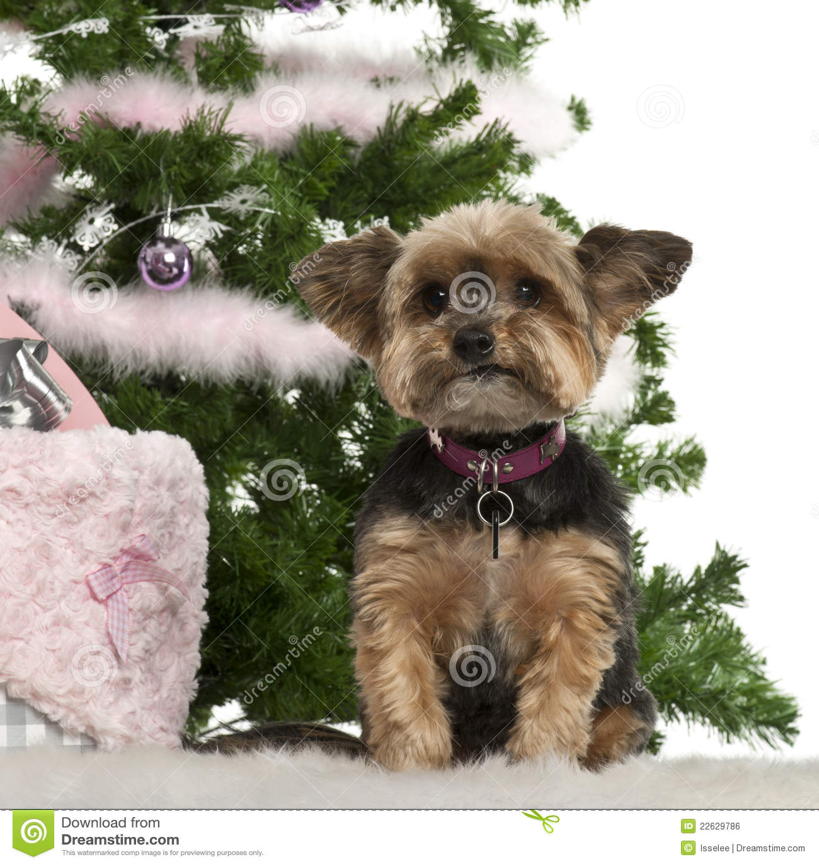 Yorkshire Terrier, 10 ...