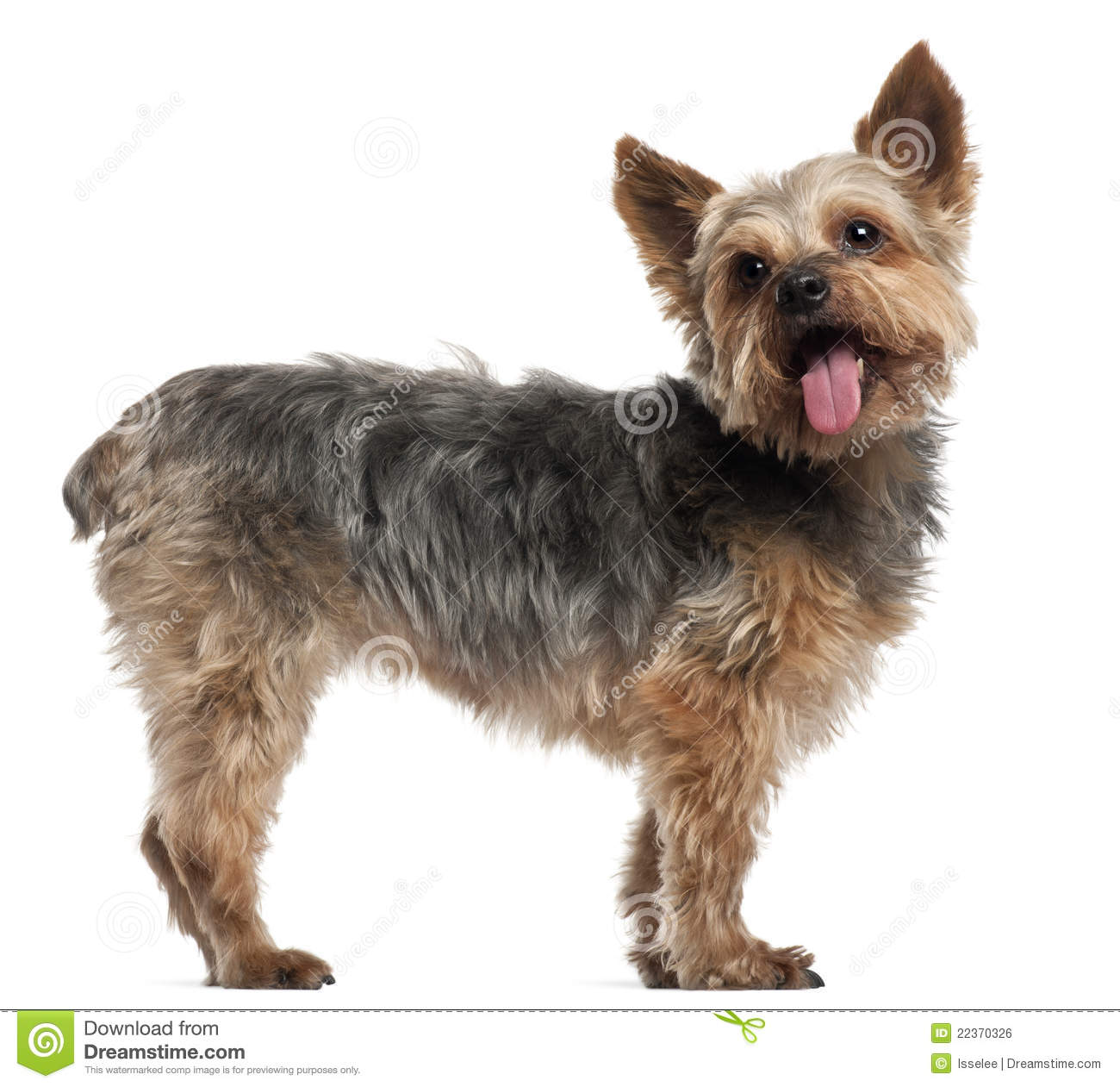 Yorkshire Terrier, 14 and a half years old, standing in front of white ...