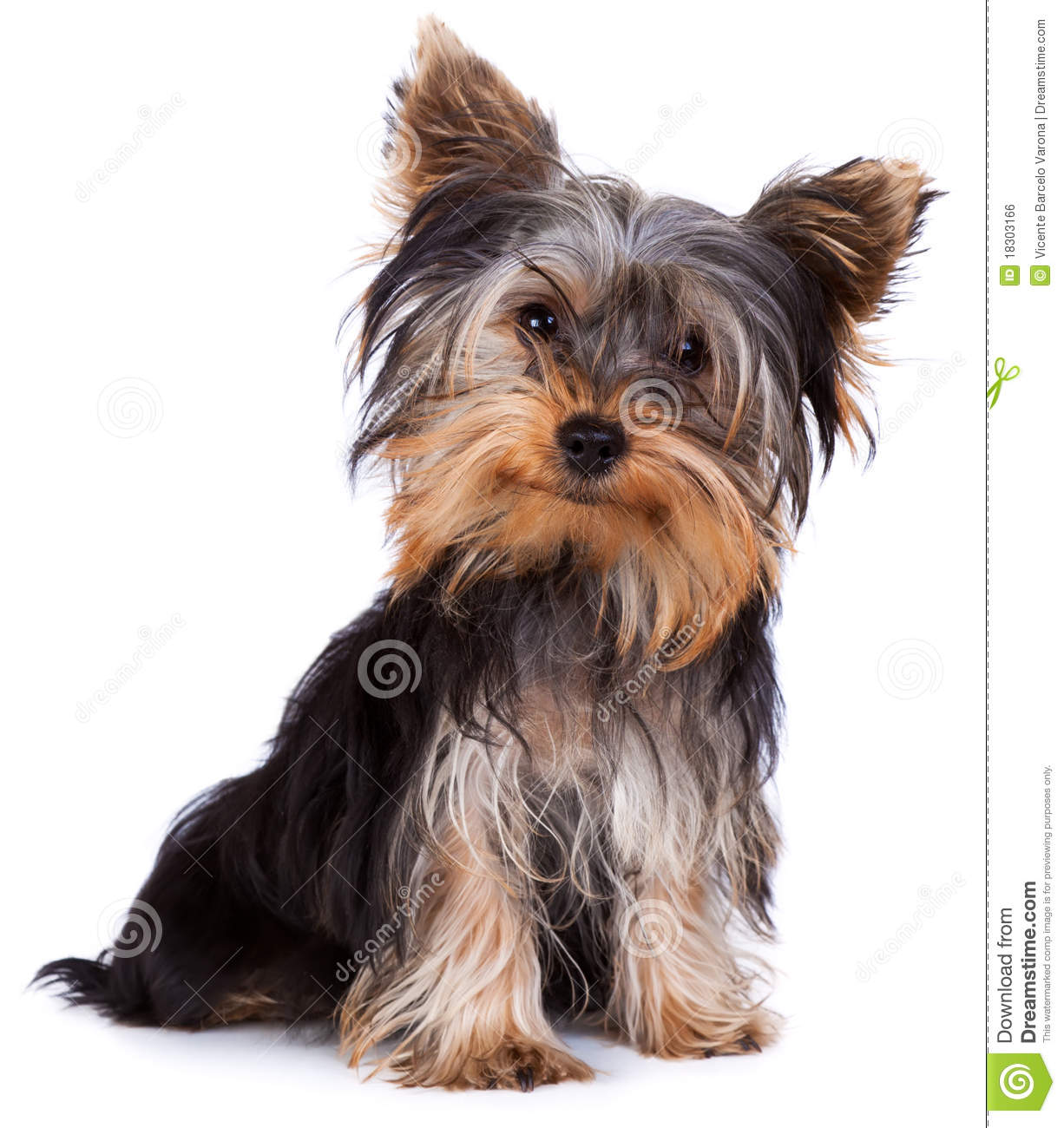 yorkie terrier picture yorkshire terrier royalty free stock image image 18303166 9647