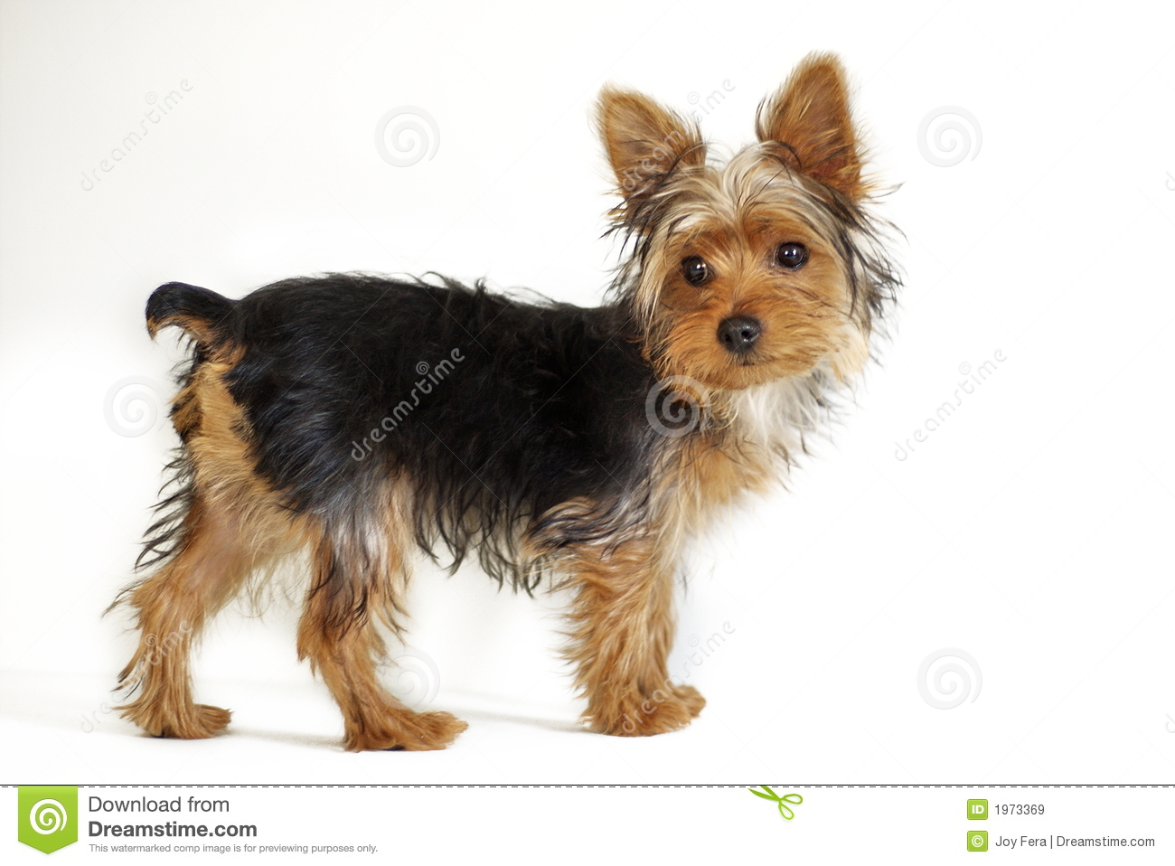Yorkshire Terrier Royalty Free Stock Images - Image: 1973369