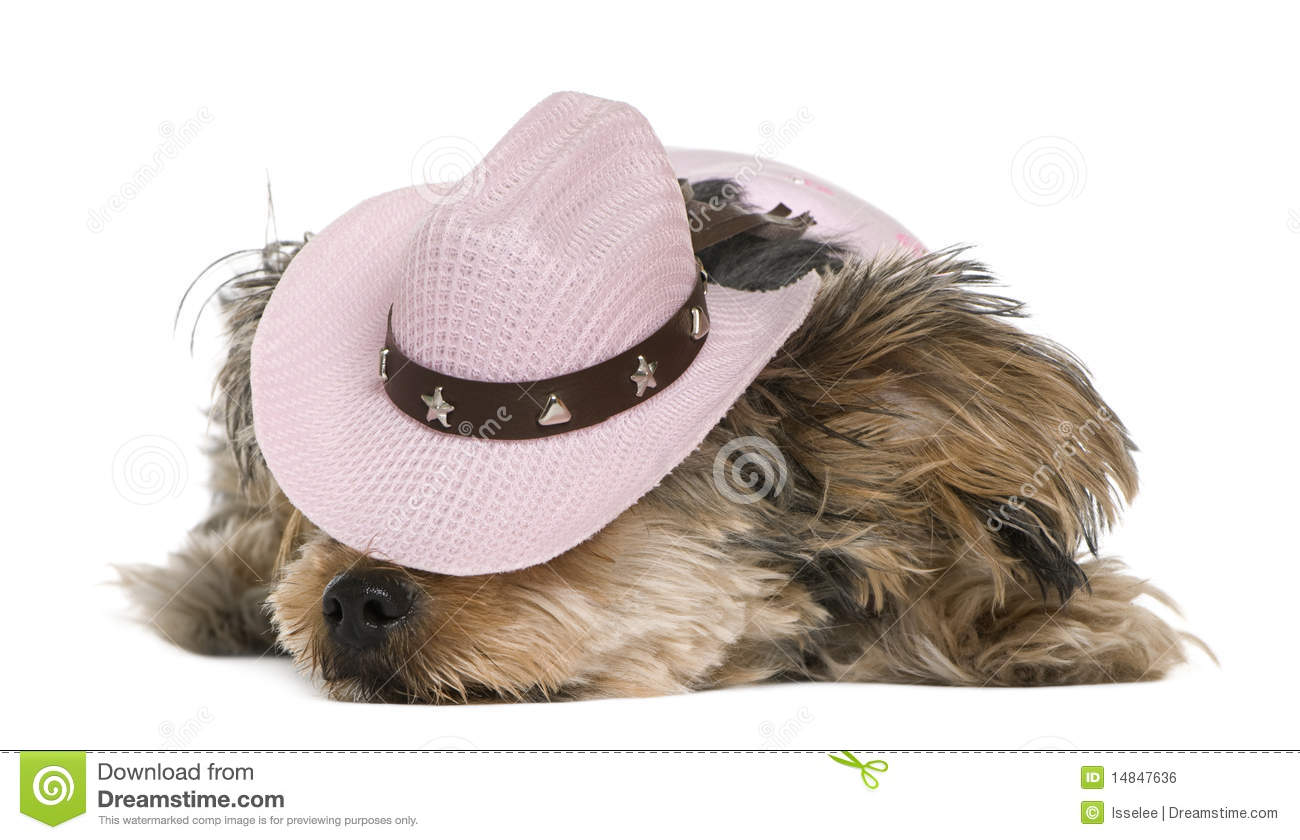 Yorkshire Terrier b8f1c33c0a9