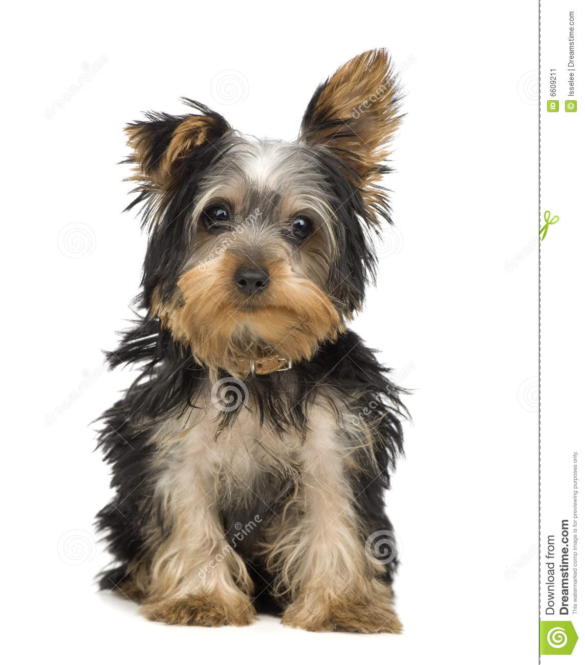 Yorkshire Terrier (3 M...