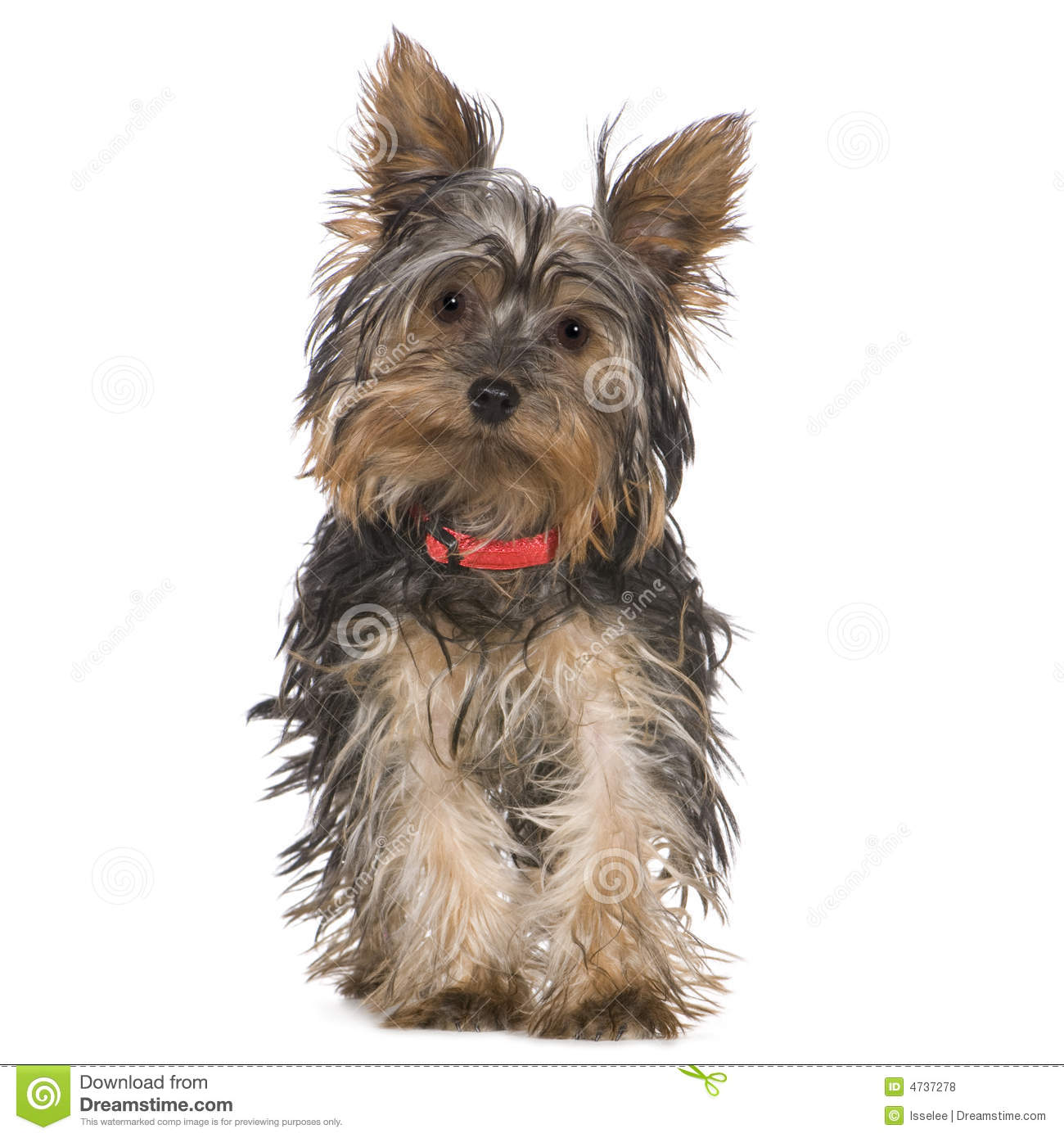 Yorkshire Terrier (5 M...
