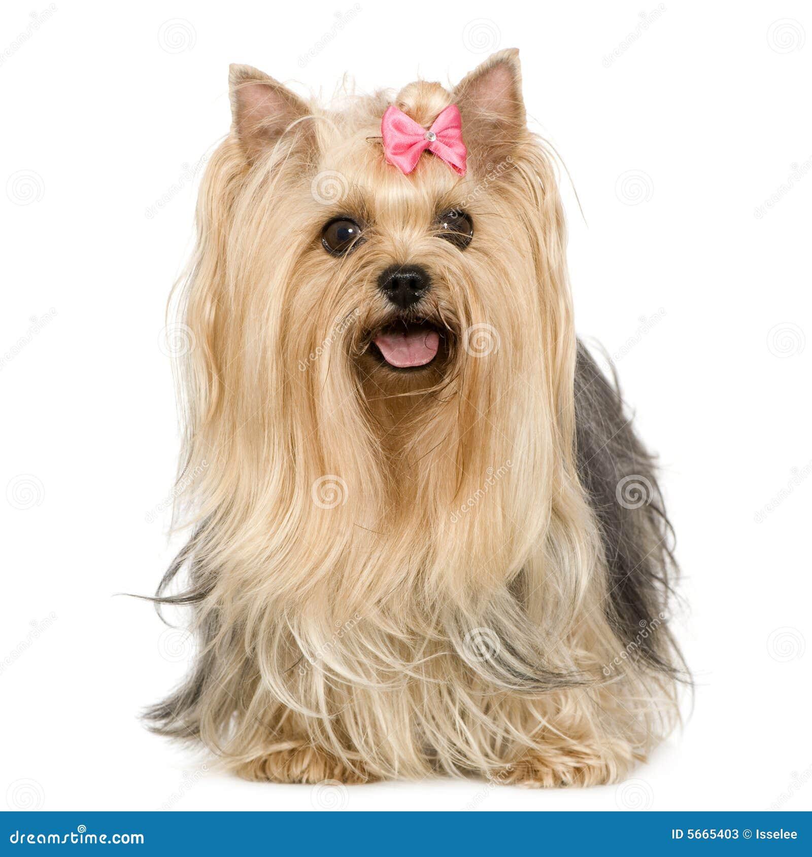 Yorkshire Terrier (6 years)