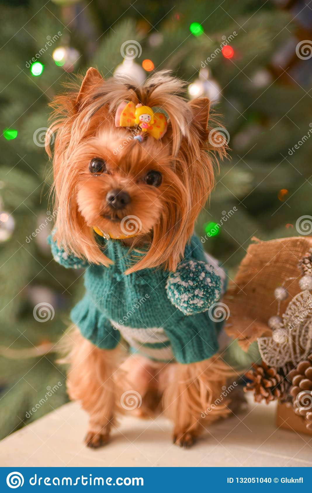 Yorkshire terrier, a bit and a lovely doggie in a festive Christmas and New Year`s interior against the background of a Christmas