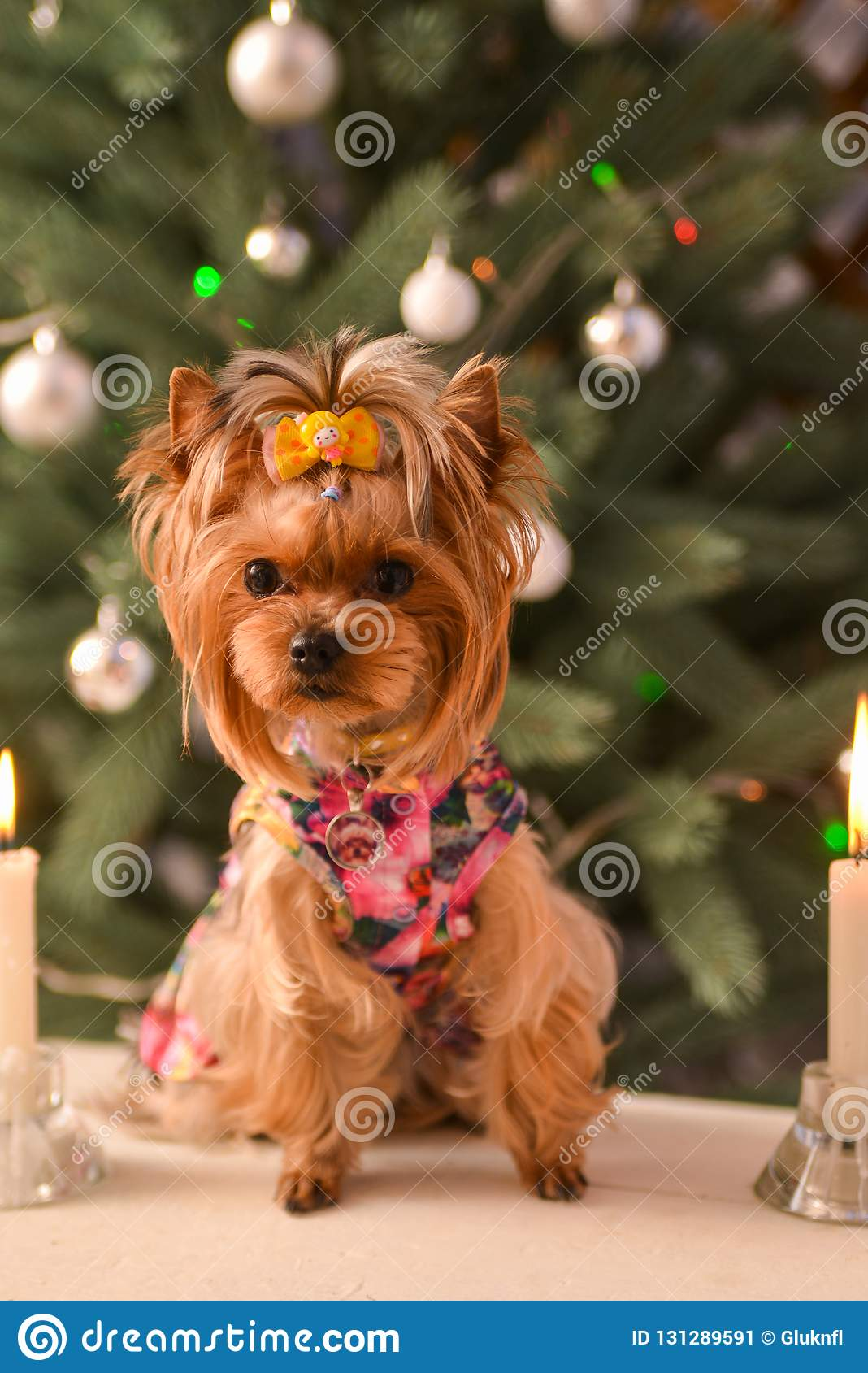 Yorkshire terrier, a bit and a lovely doggie in a festive Christmas