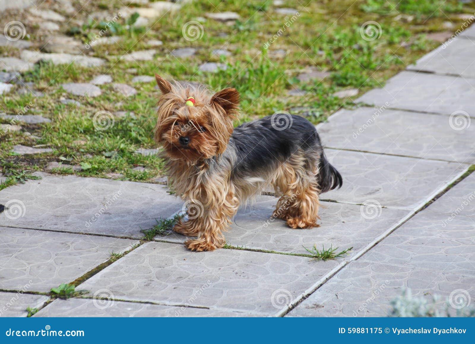 Yorkshire Terrier Bonito Novo Da Cadela Do Ruivo Com Cabelo
