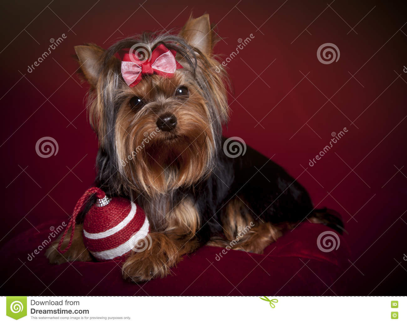 Yorkshire Terrier With Christmas Ornament On Deep Red Background