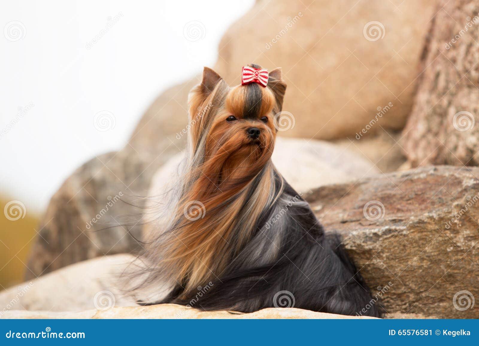 Yorkshire terrier com cabelo tornando-se