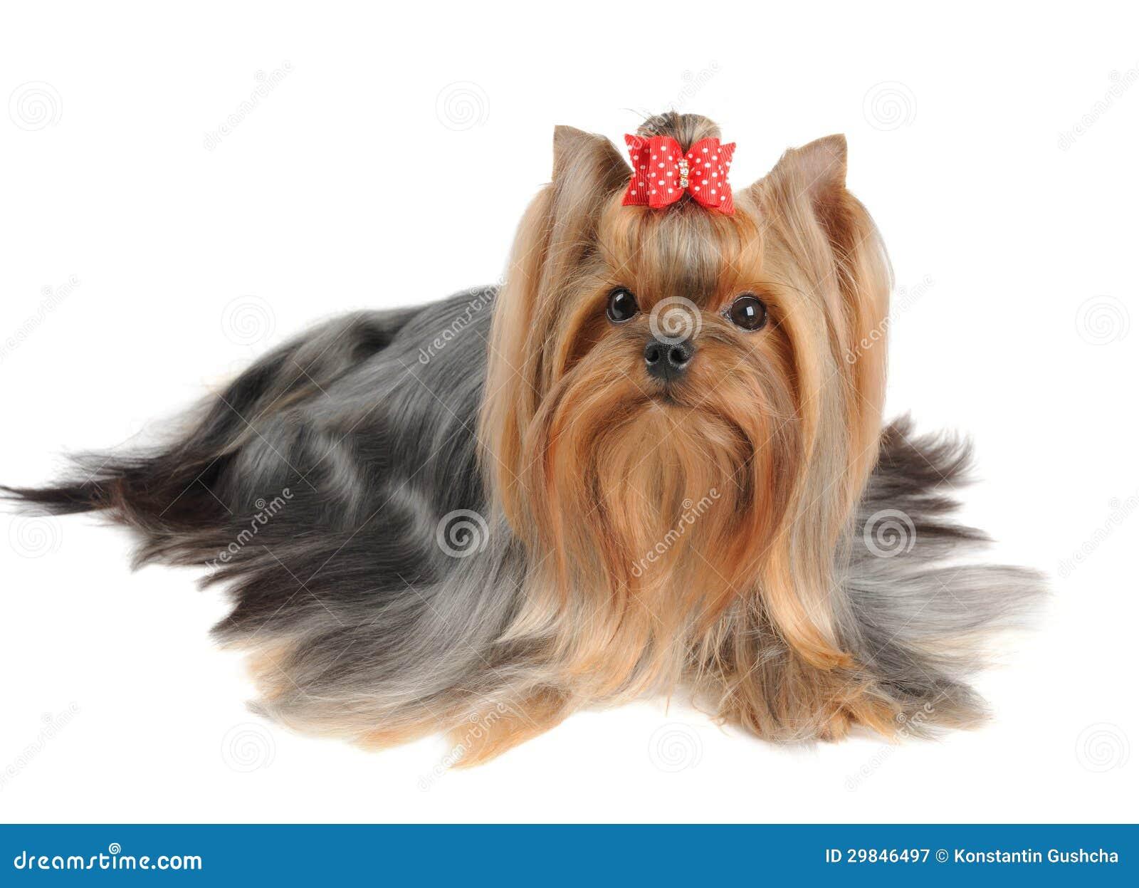 Yorkshire terrier com cabelo longo