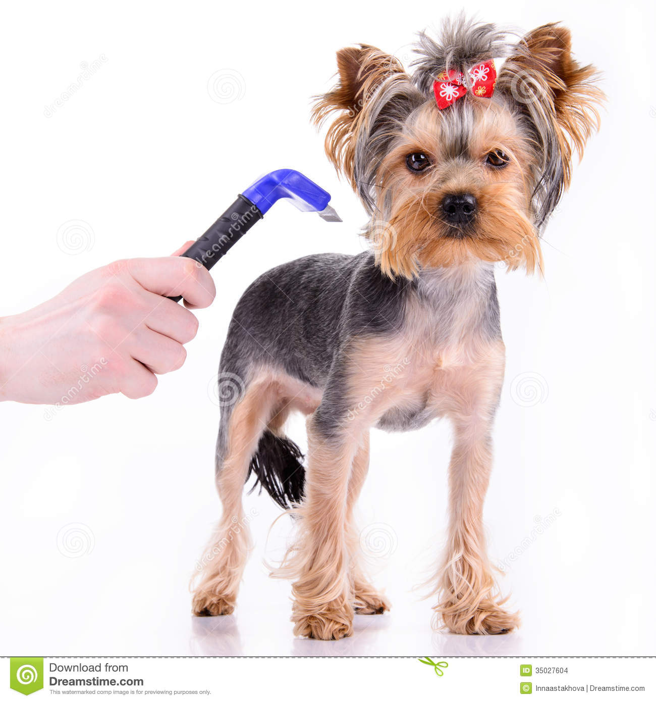 Yorkshire Terrier Comb Dog Pet Isolated White Background