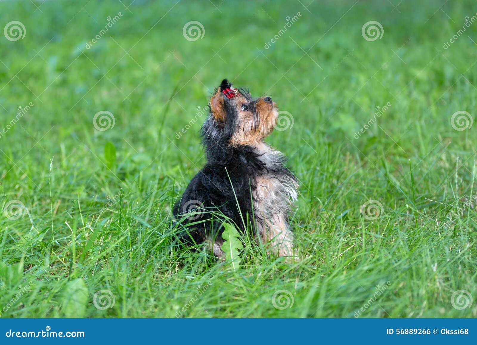Yorkshire terrier del cucciolo che cammina nel parco