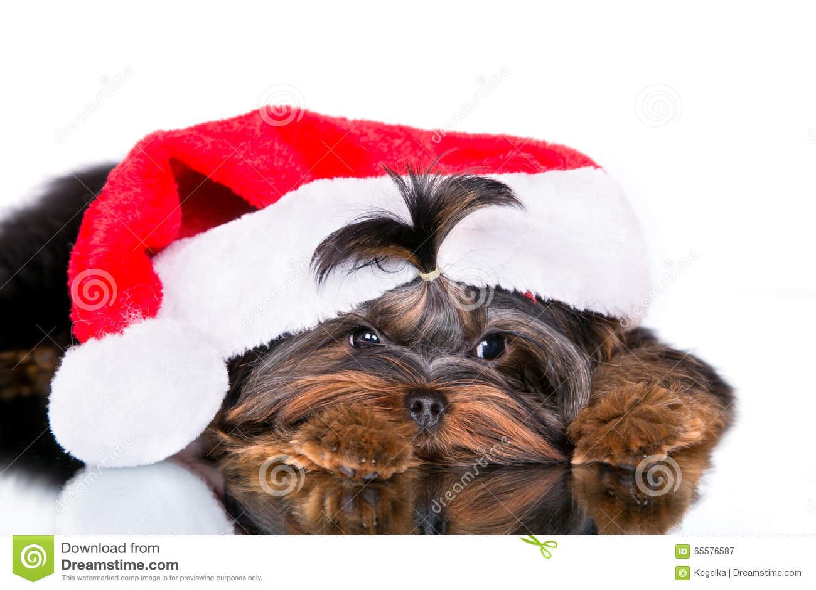 Yorkshire terrier do cachorrinho em um tampão de ano novo