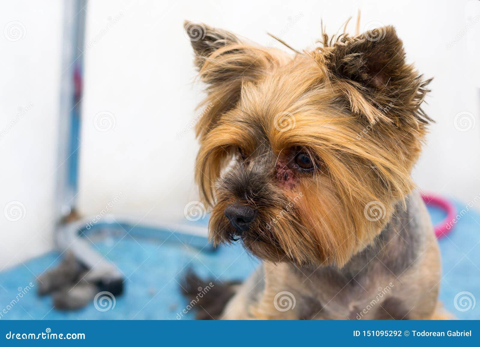 dermatitis yorkshire terrier)