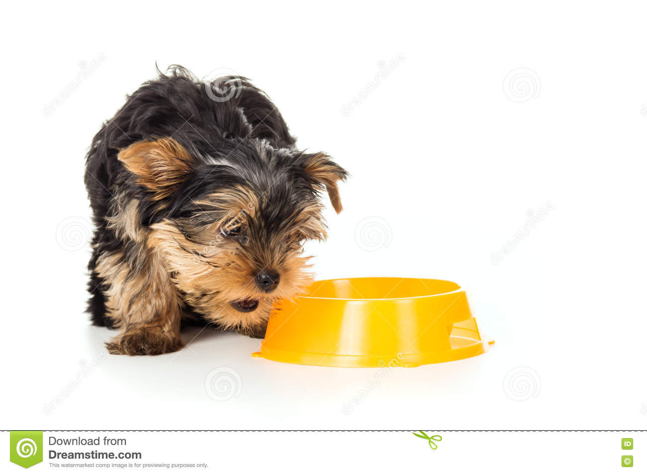 Yorkshire Terrier Dog With Food Bowl Stock Photo Image Of Little