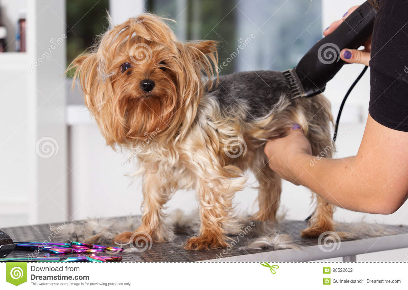 Yorkshire Terrier Dog On A Hairstyle Stock Photo Image Of Grooming