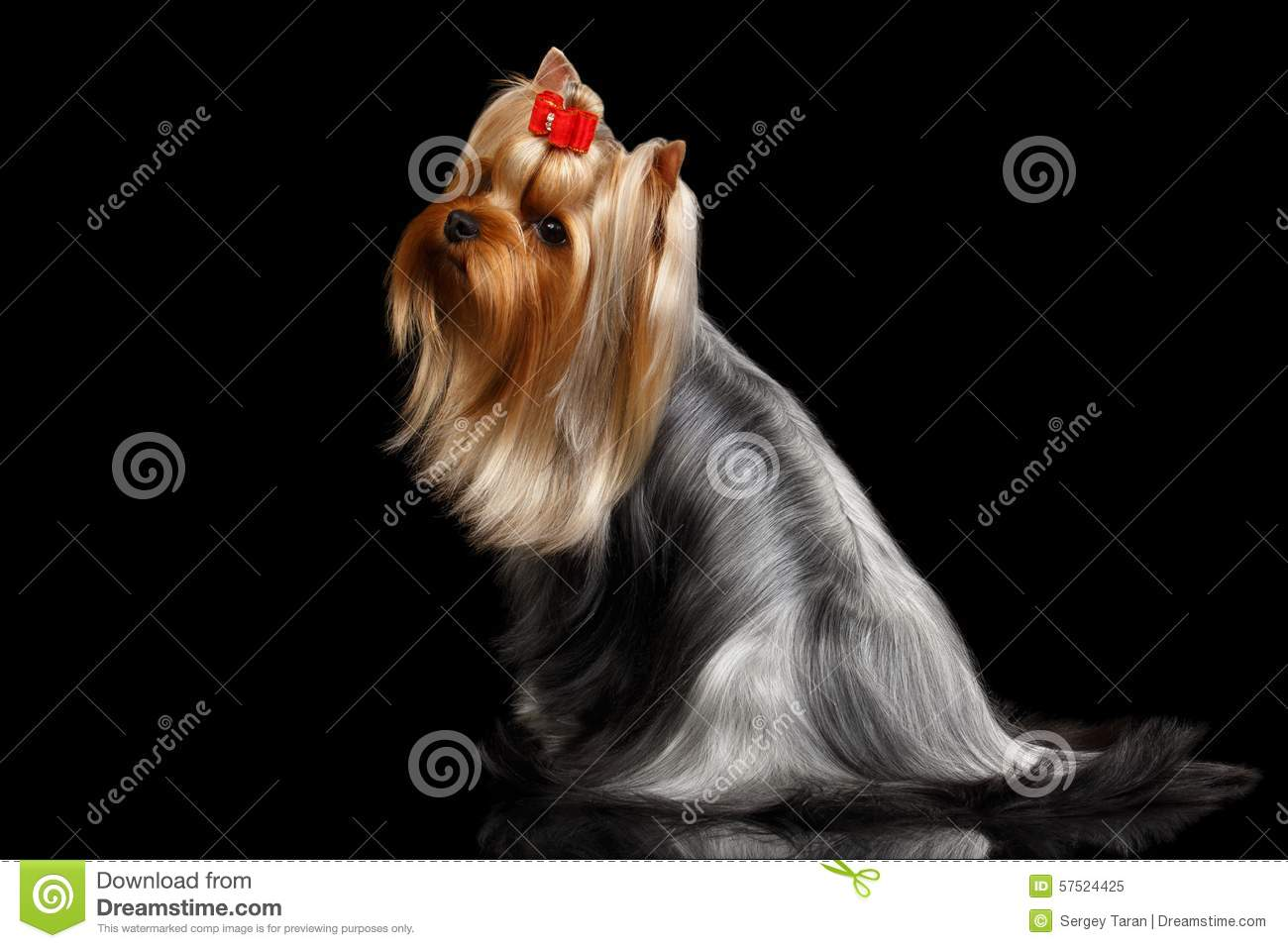Yorkshire Terrier Dog With Long Groomed Hair Sits On Black Stock