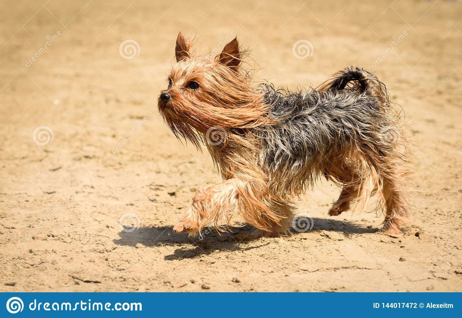 Yorkshire Terrier Dog With Long Hair Walking And Playing On Beach