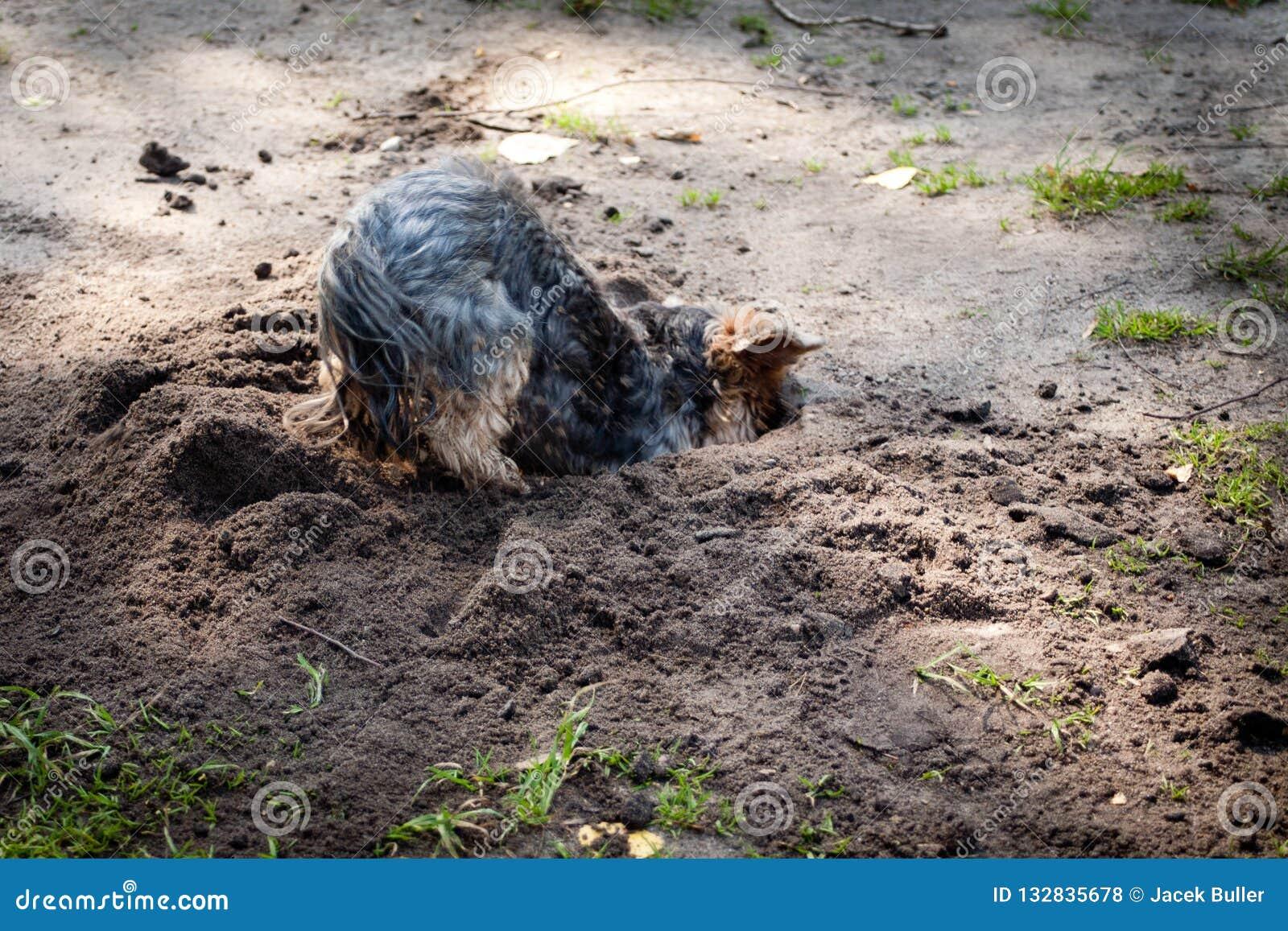 Yorkshire Terrier is een klein die hondras van terriërtype, tijdens de 19de eeuw in Yorkshire, Engeland wordt ontwikkeld, ratten