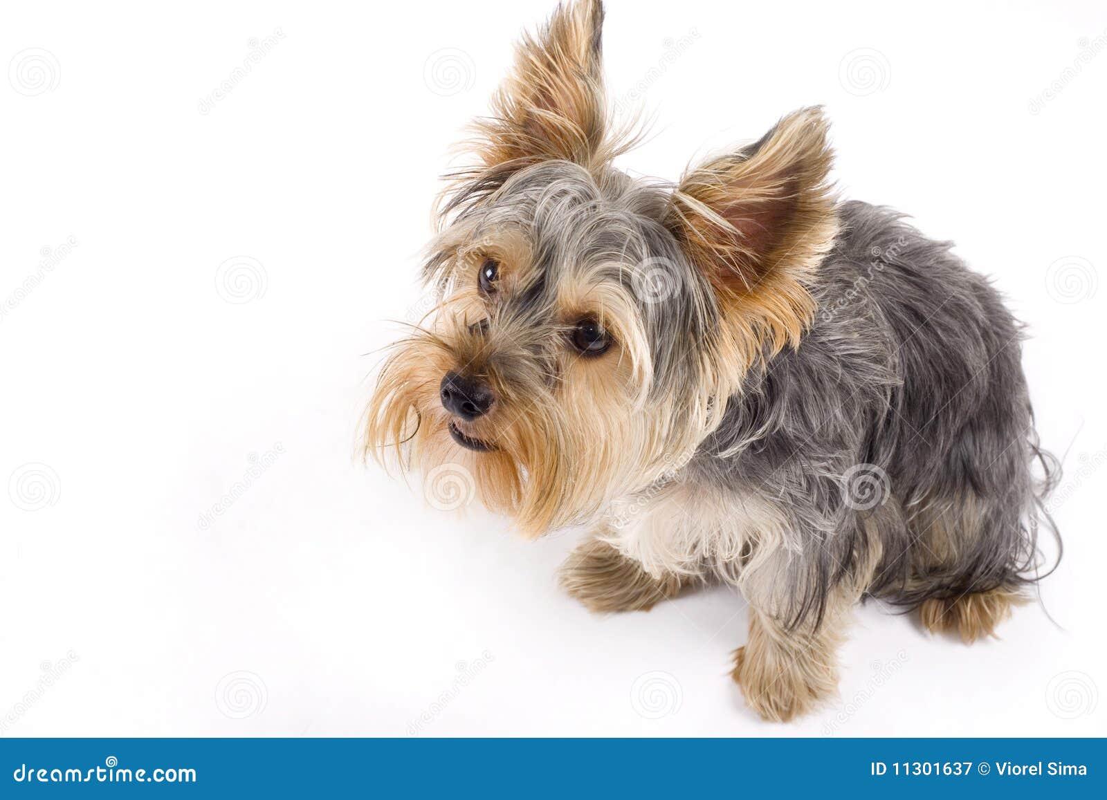 Yorkshire-Terrier getrennt auf einem weißen Hintergrund