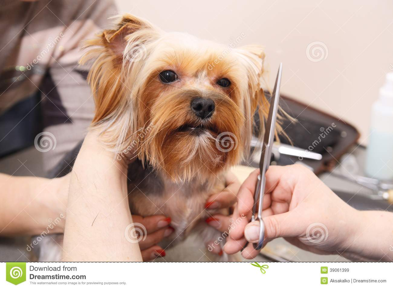 Yorkshire Terrier Getting His Hair Cut Stock Image Image Of Human