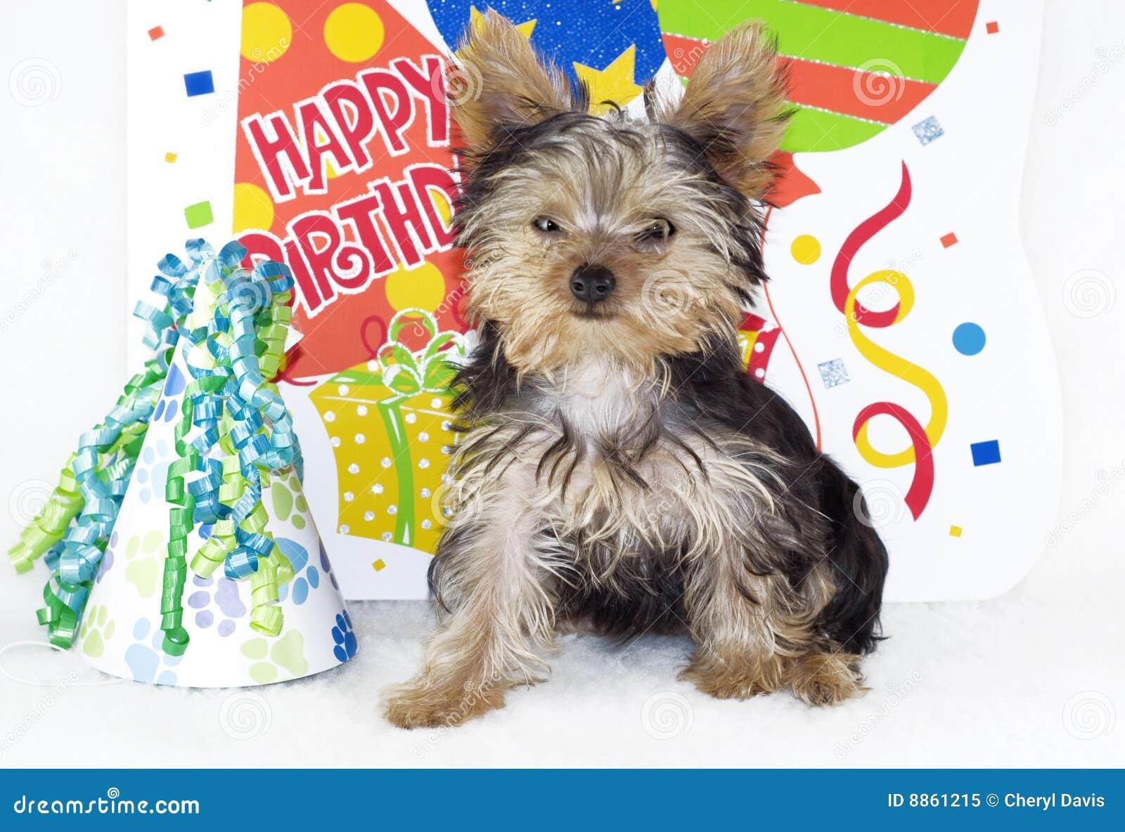 Geburtstag Yorkie Welpe Stock Photos Royalty Free Images