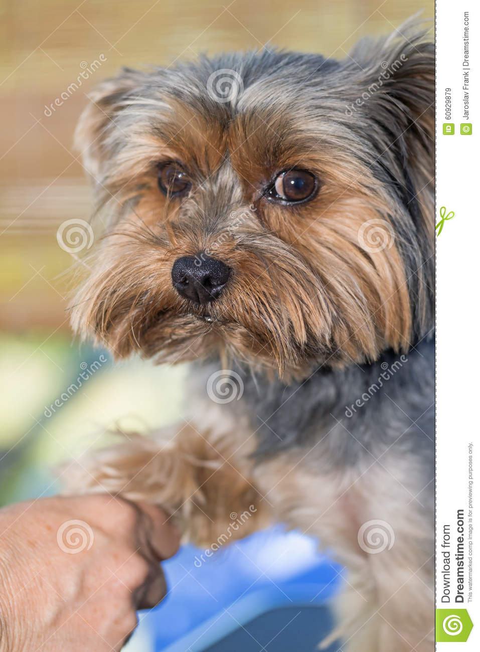 Yorkshire Terrier Is Groomed Stock Image Image Of Hair Person