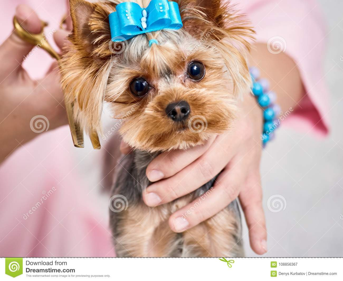 Yorkshire Terrier On Grooming Stock Image Image Of Glamour